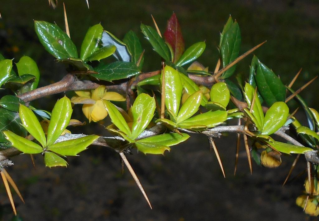 Berberis candidula leaves, bark, and flowers