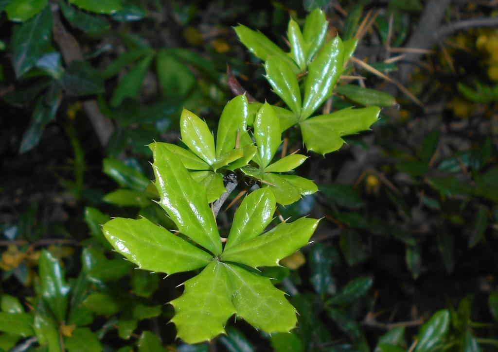 Berberis candidula leaves