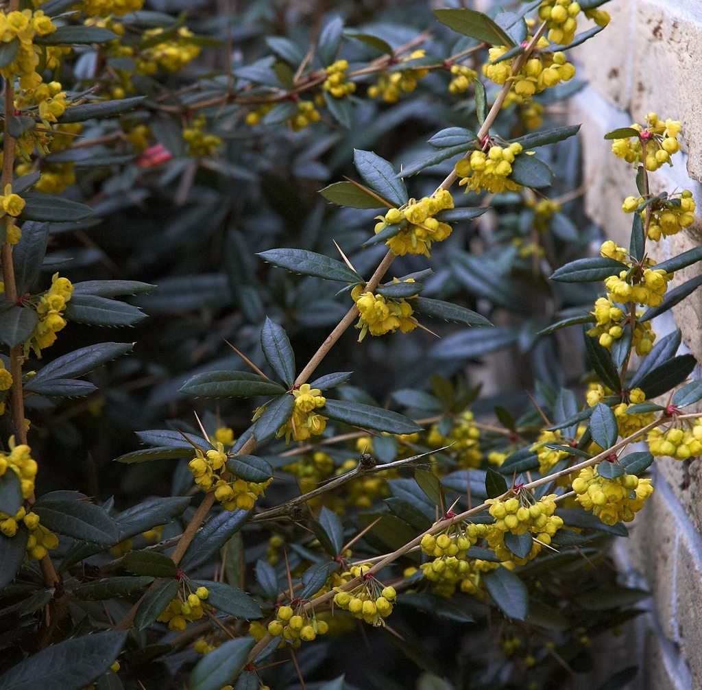 Berberis julianae flowers and leaves