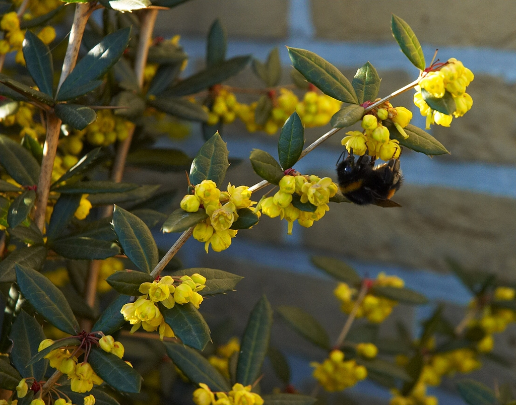 Berberis julianae 2