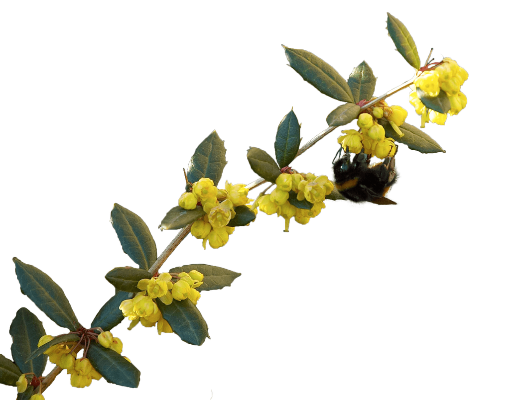 Berberis julianae flowers, bee, and leaves