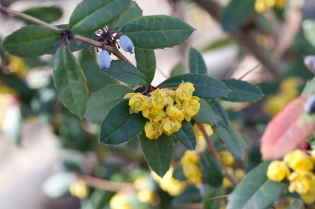 Berberis julianae flowers and fruits