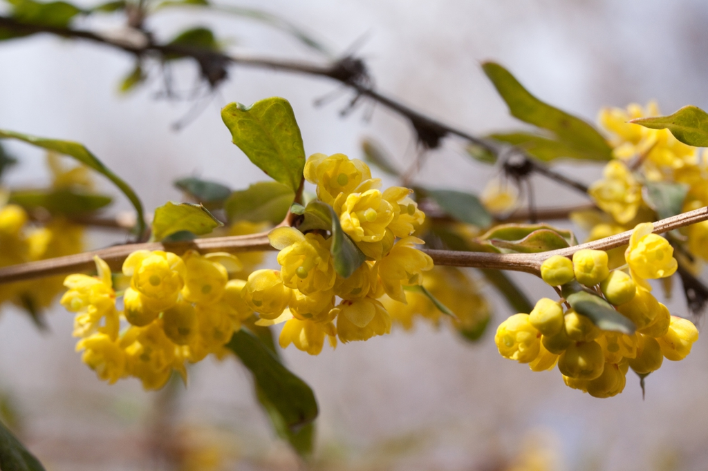 Berberis julianae flower buds