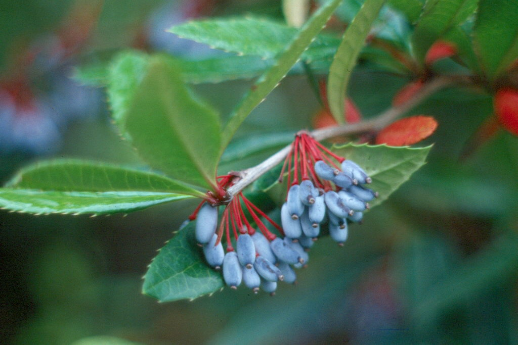 Berberis julianae fruit