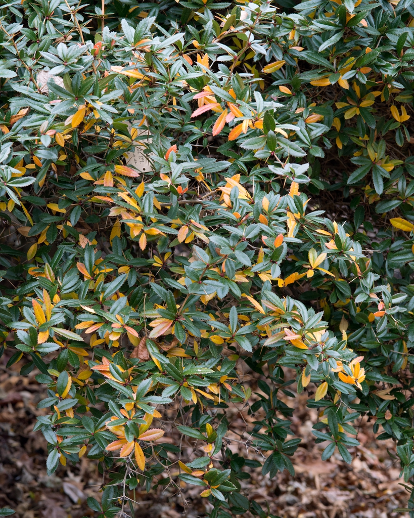 Berberis julianae leaves and form
