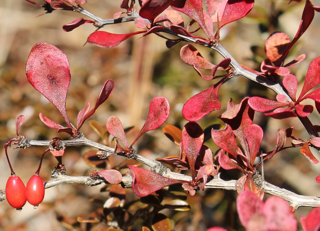Berberis thunbergii (autumn leaf color)
