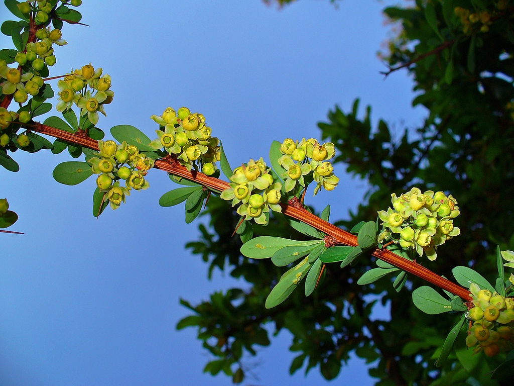 Berberis thunbergii stem, leaves, and flowers