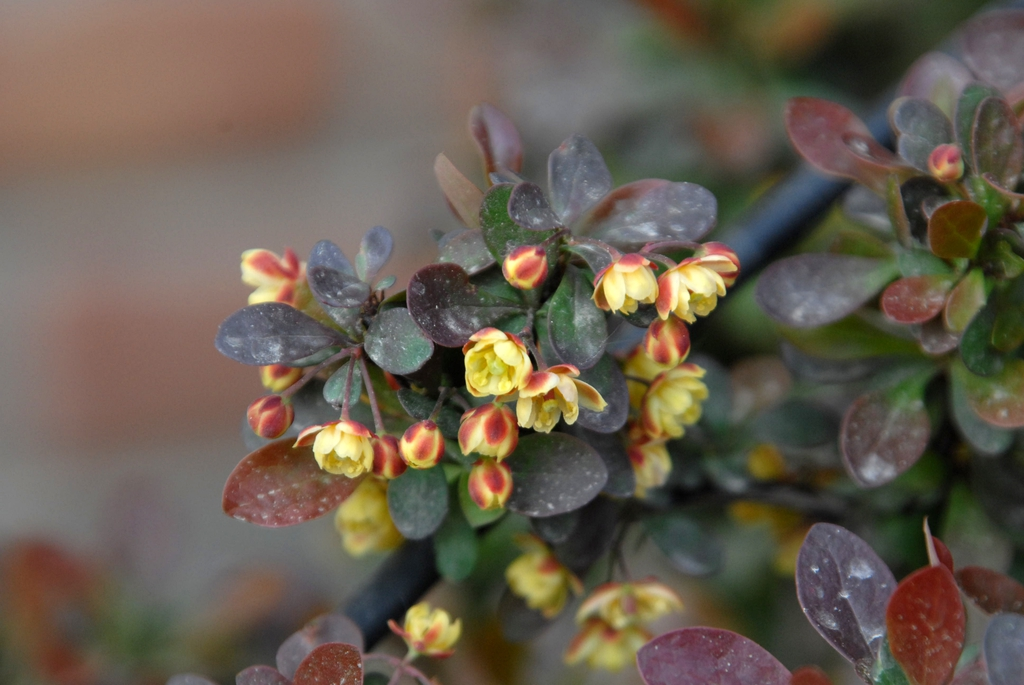 Berberis thunbergii Leaves and Flower