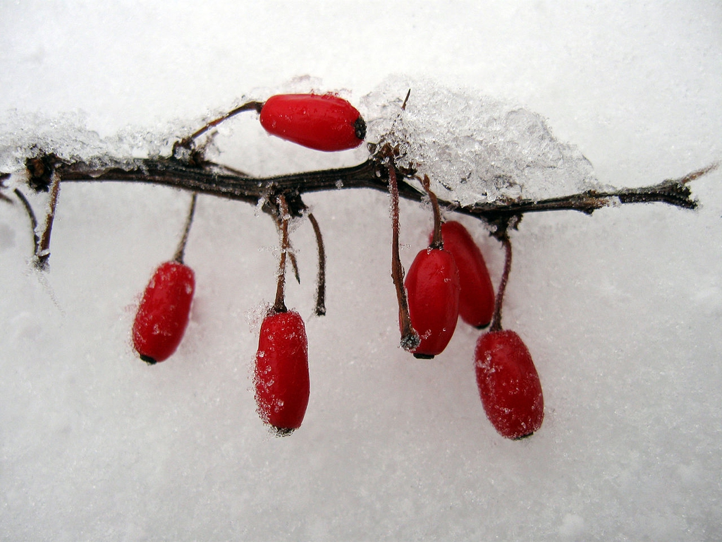 Berberis thunbergii berries