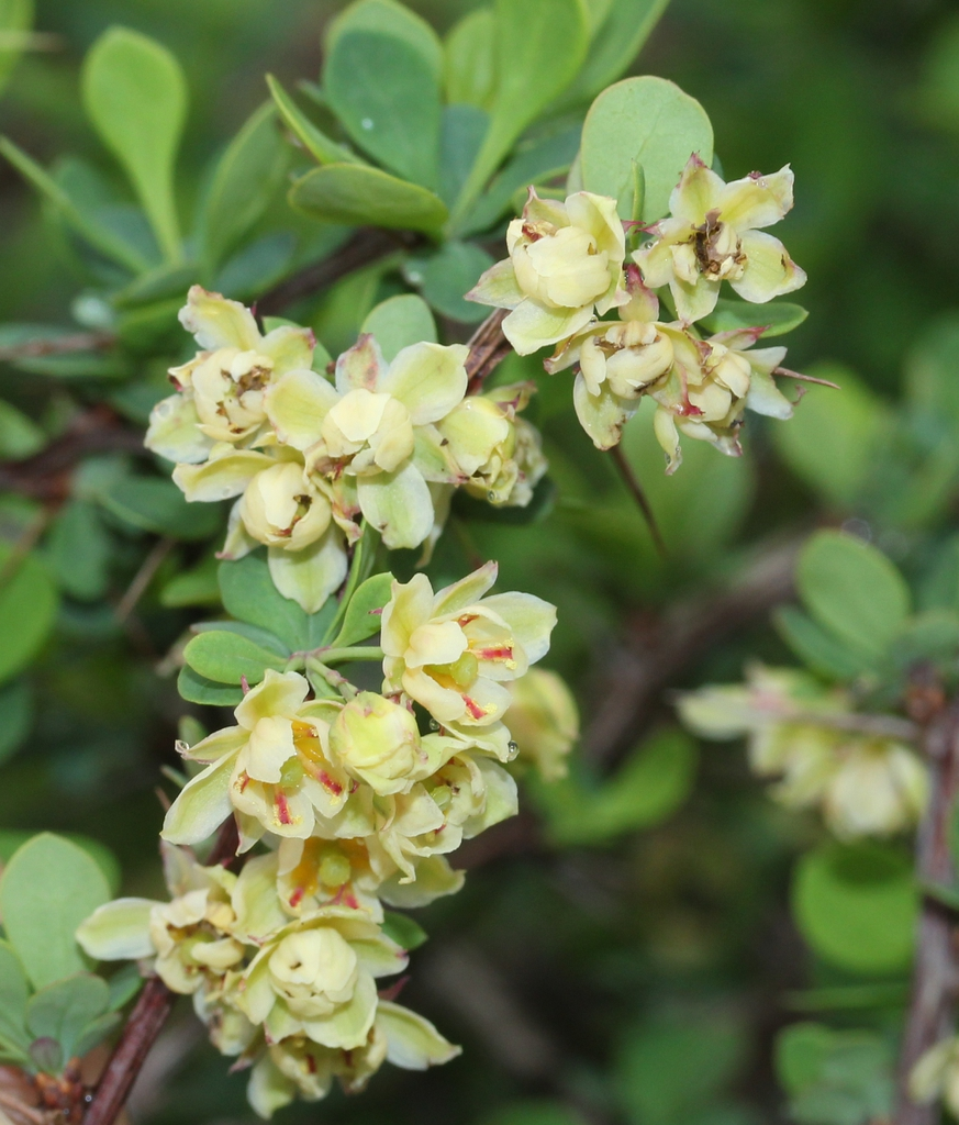 Berberis thunbergii flowers