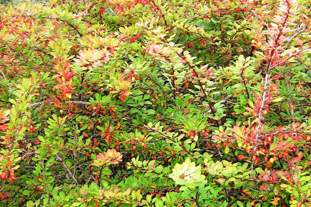 Berberis thunbergii in fall
