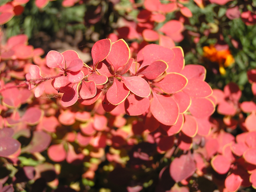 Berberis thunbergii red leaves