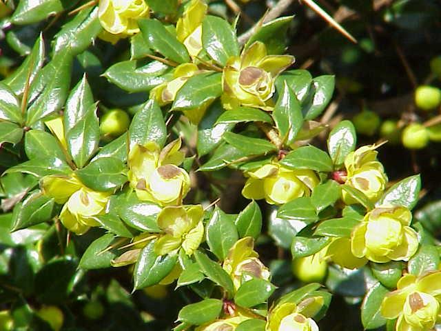 Berberis verruculosa flowers leaves