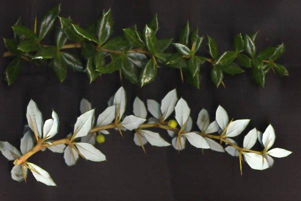 Berberis verruculosa leaves