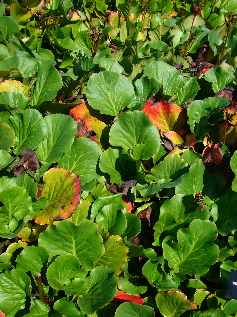 Bergenia cordifolia leaves in mass planting