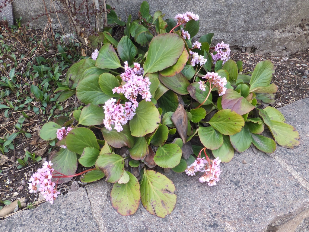 Bergenia crassifolia form