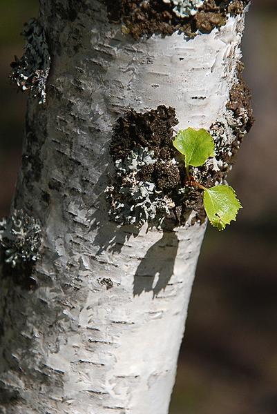 trunk/ bark