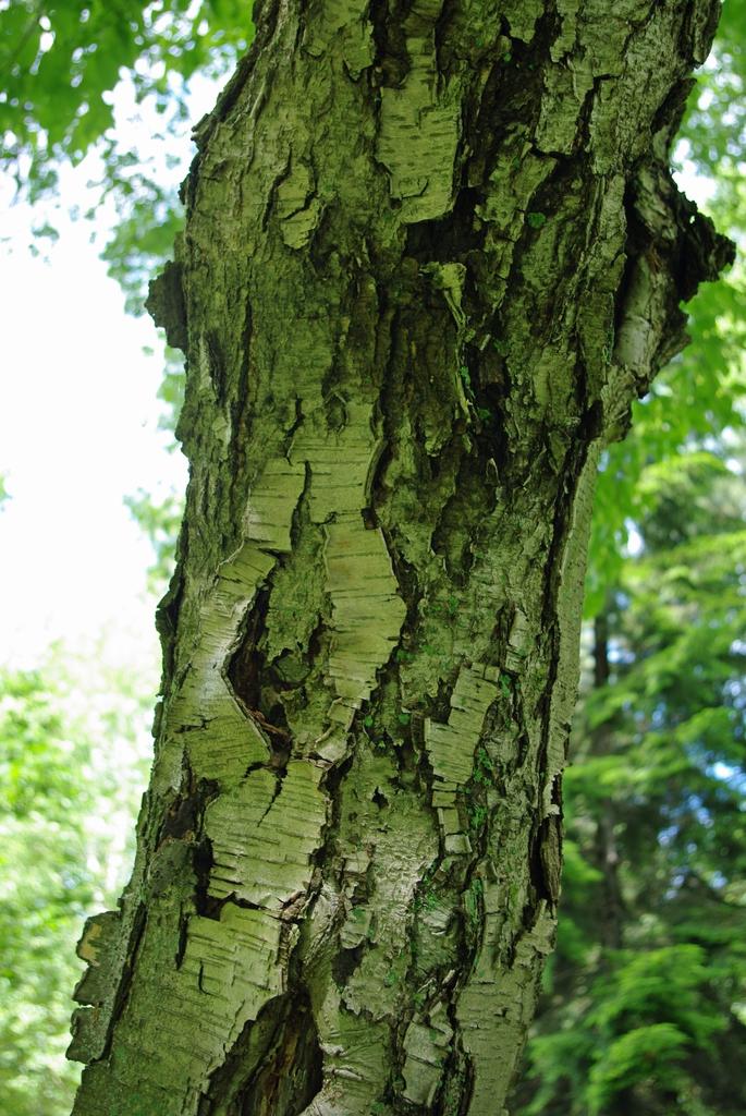 Betula grossa bark