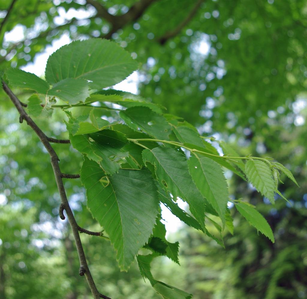 Betula grossa foliage