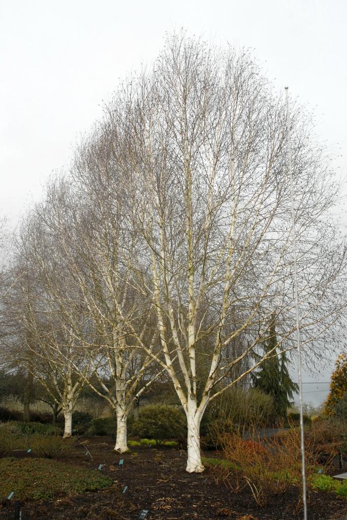 Betula jacquemontii Tree