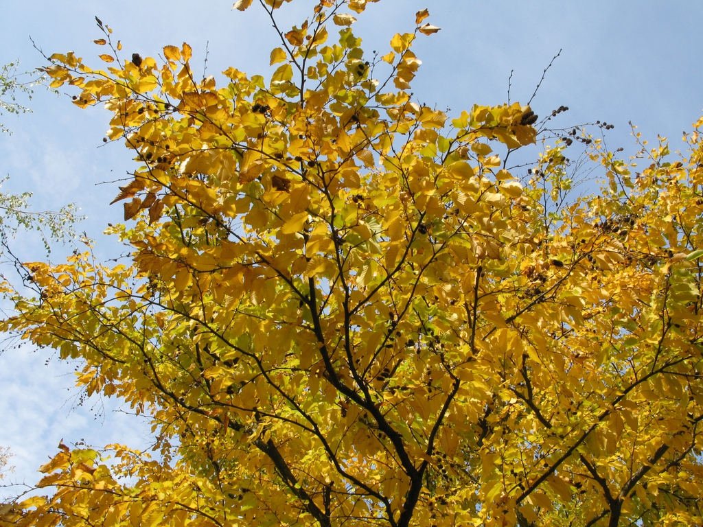 Betula lenta Liliental yellow leaves
