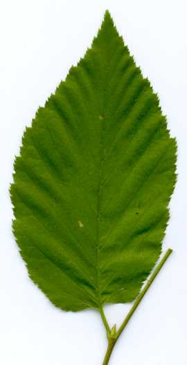 Betula lenta leaf