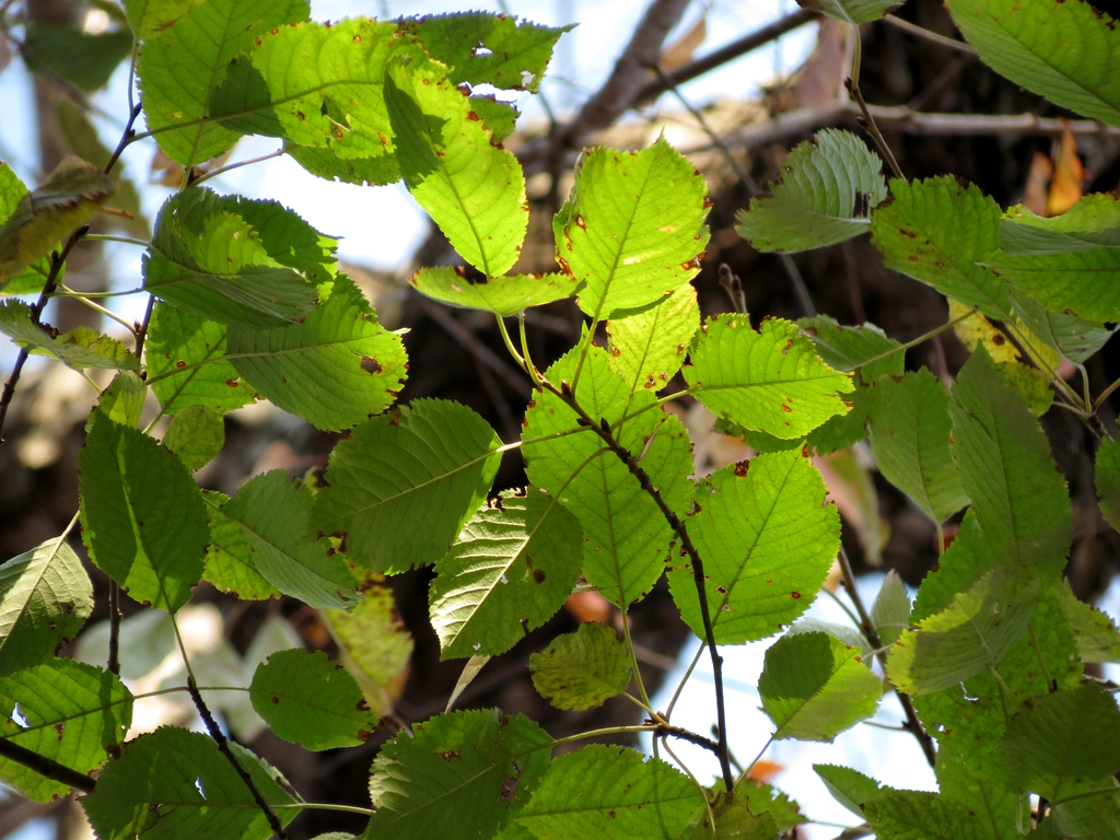 Betula lenta (sweet birch) leaves