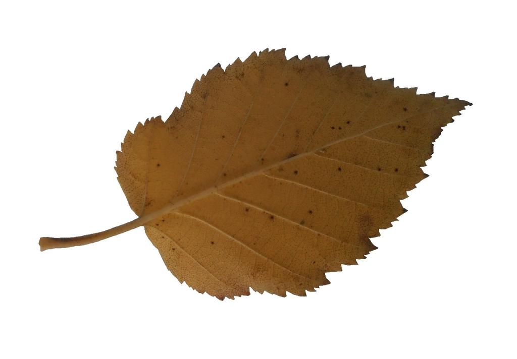Betula maximowiacziana leaf
