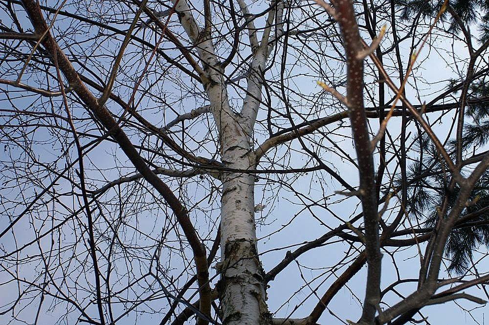 Betula maximowicziana branches