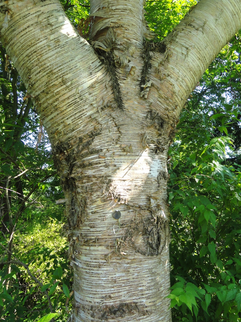 Betula maximowicziana bark and trunk
