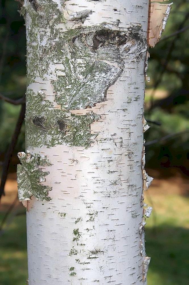 Betula maximowicziana bark