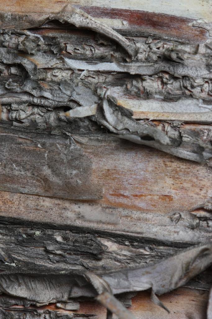 Betula papyrifera bark