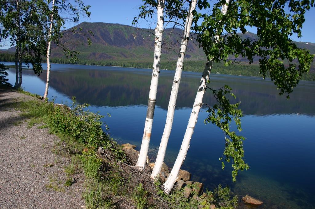 Betula papyrifera by a lake