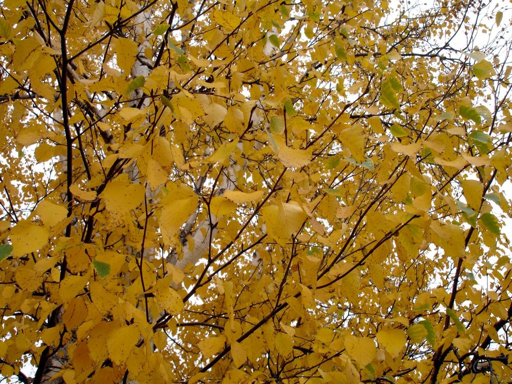 Betula papyrifera leaves