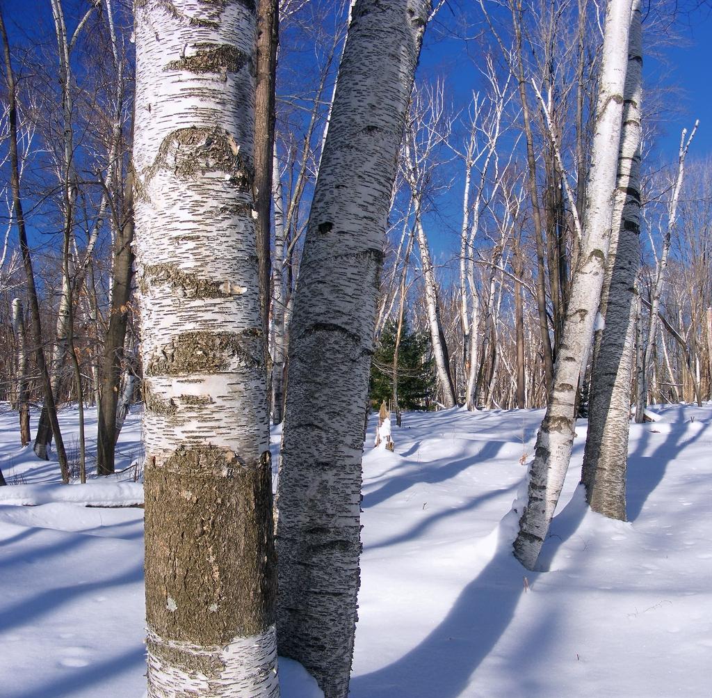 Betula papyrifera in winter