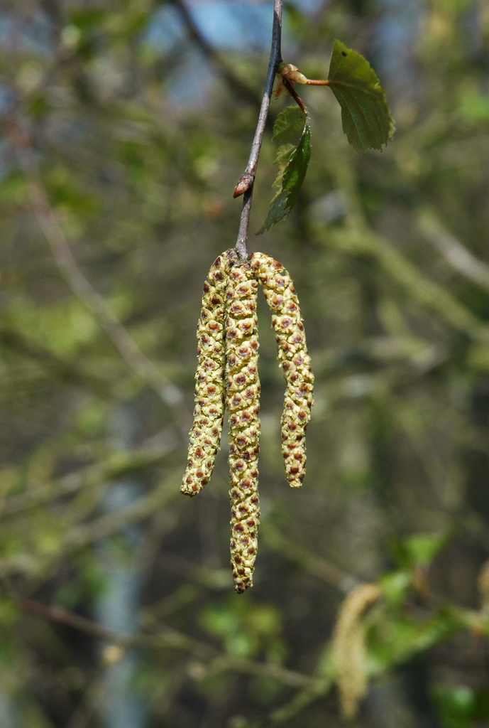 male catkins in spring