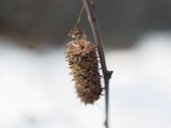 Betula platyphylla var. japonica