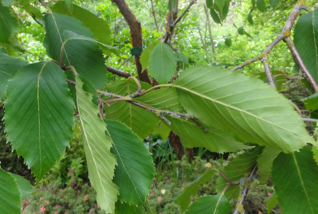 Betula jacquemontii