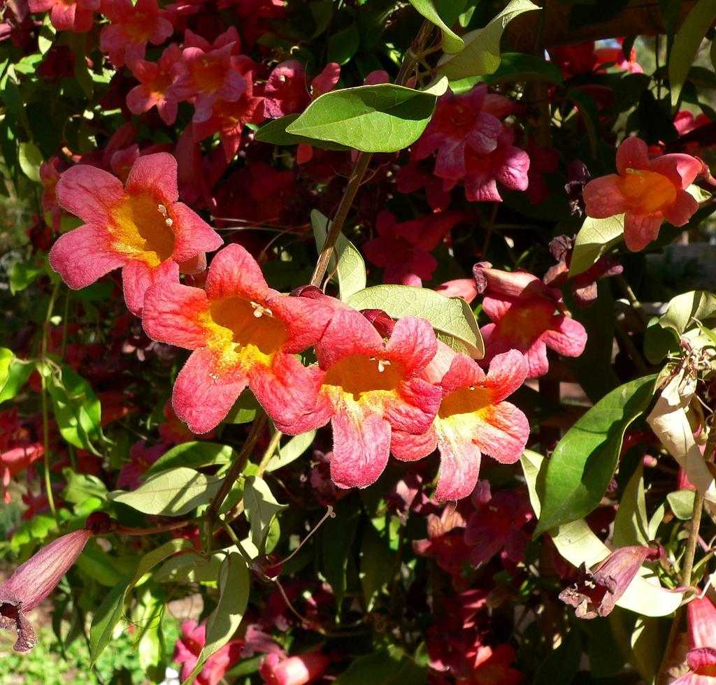 Bignonia capreolata 2