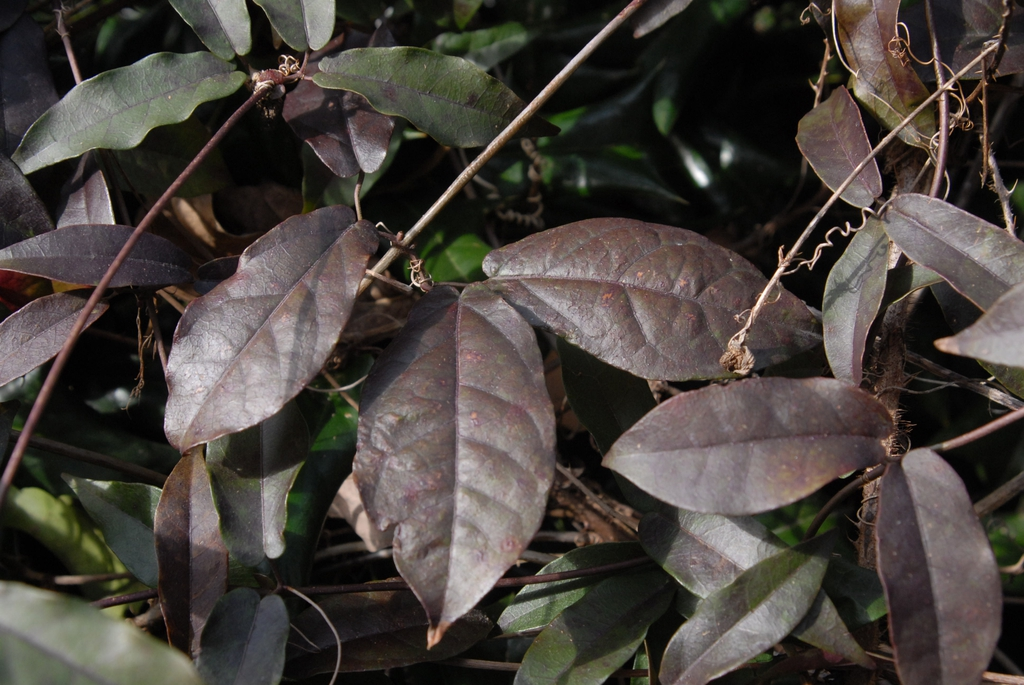 Bignonia capreolata - foliage close up