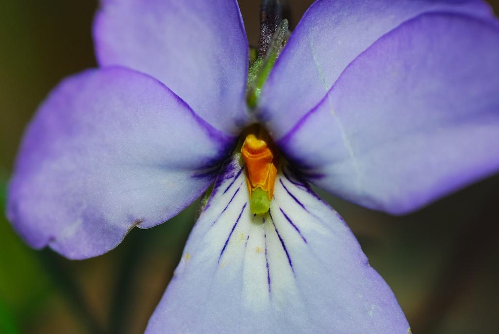 Bird-foot Violet Viola pedata