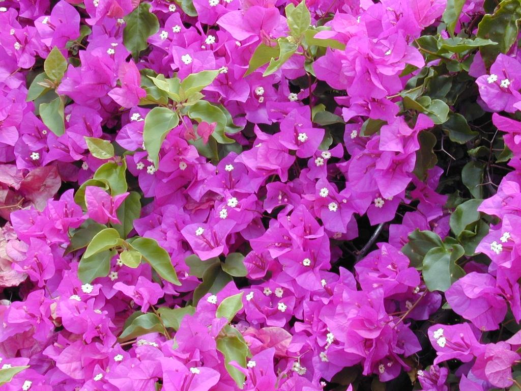 Pinkish-purple bracts