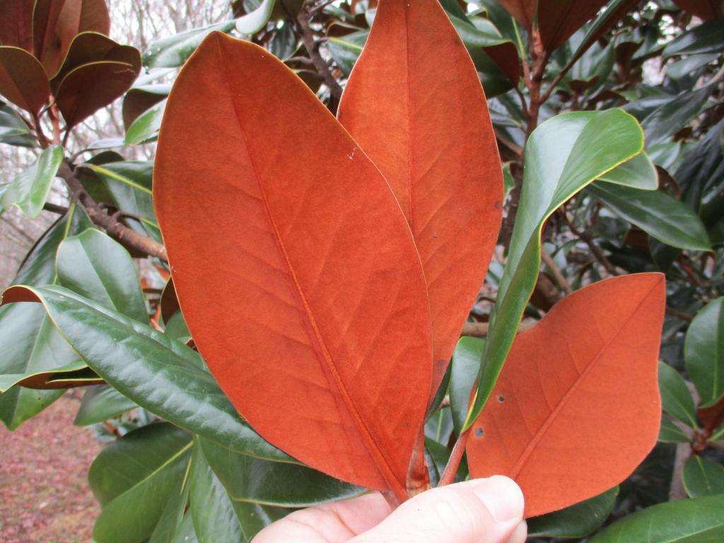 'Bracken's Brown Beauty' (Magnolia grandiflora)