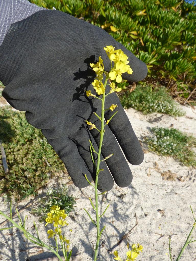 Brassica juncea flowers