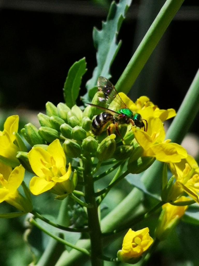 Brassica napus (Pabularis Group)