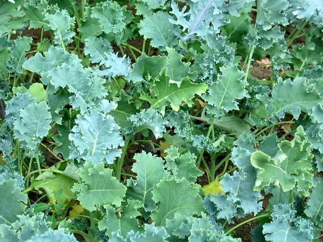 Edible Kale