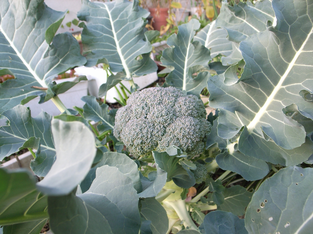 Mature broccoli plant