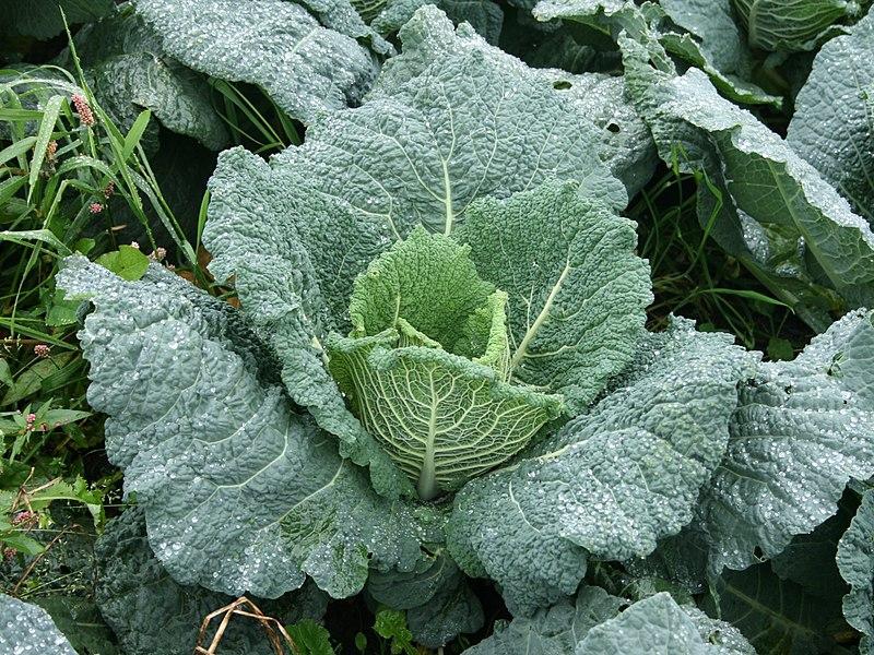 Brassica oleracea Savoy