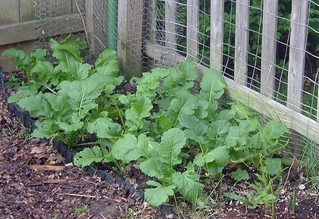 Brassica rapa (Rapifera Group)