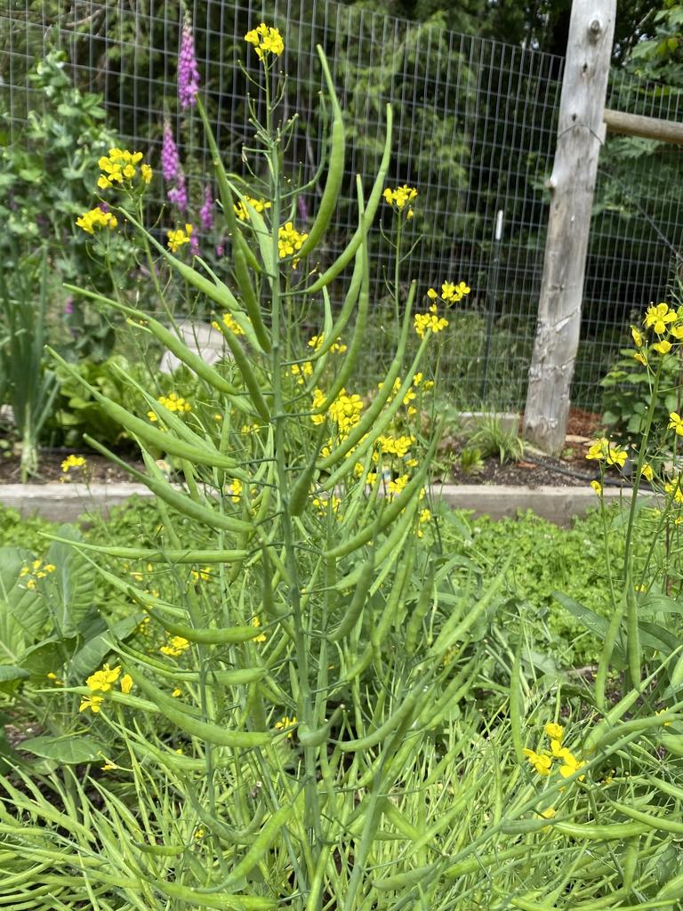 Brasscia rapa (Ruvo Group)